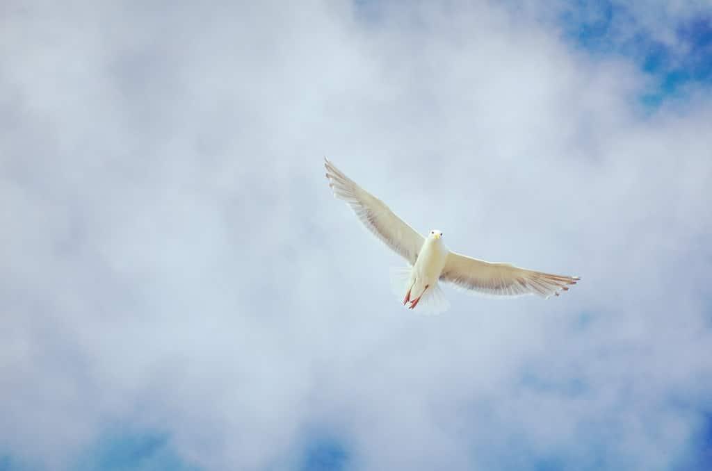 flying white dove, psychedelic spirit animal
