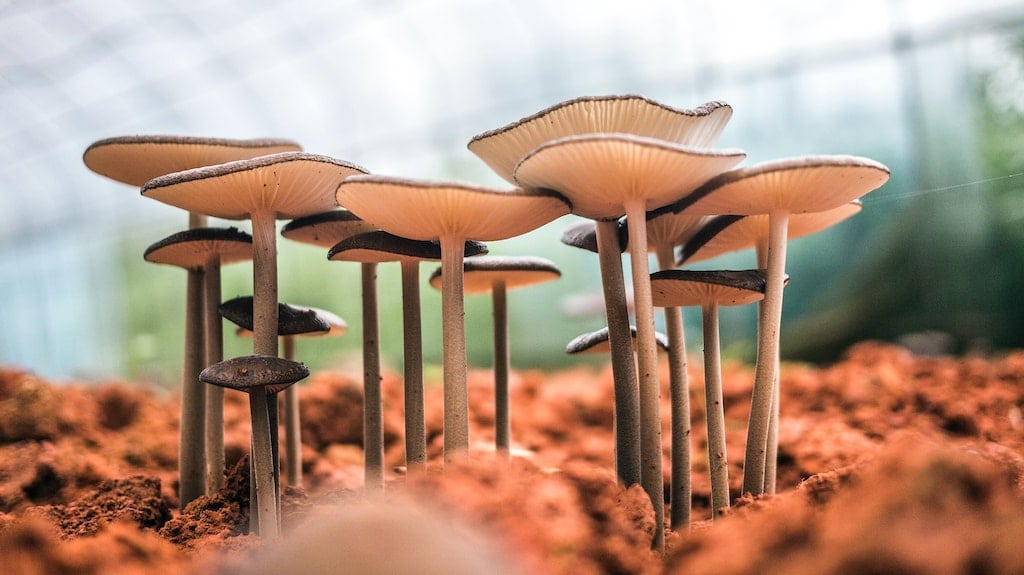 psilocybin mushrooms growing from ground, what is the history of psychedelic substances for healing